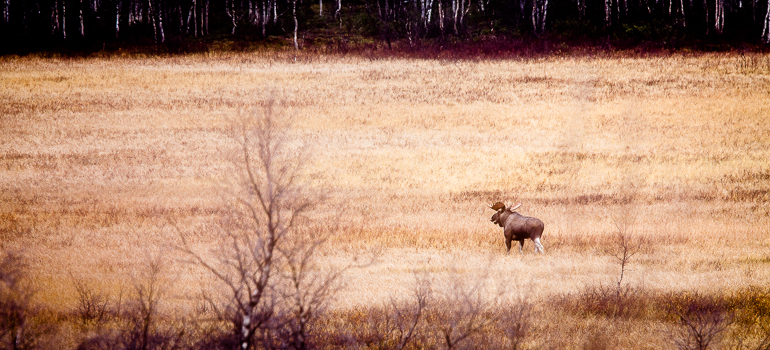 Bull moose, Rápavuopmi - Sápmi, october. Photo: Carl-Johan Utsi