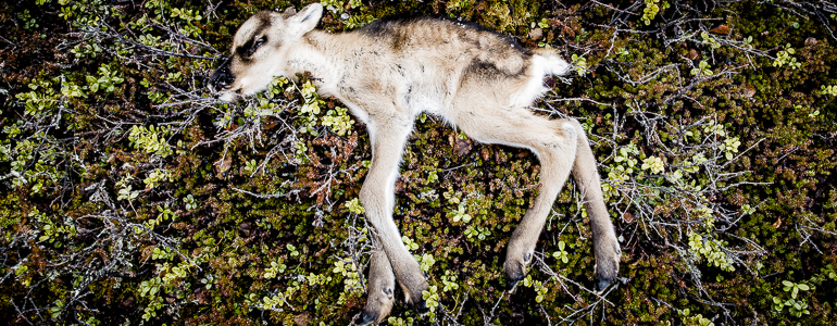 Reindeer calf, unknown death cause, photo: Carl-Johan Utsi.